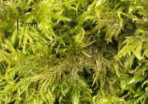 Thamnobryum alopecurum