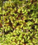 Tortula ruralis = Syntrichia                 ruralis