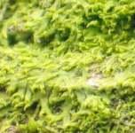 Metzgeria fructiculosa