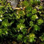 Click to enlarge Bryum gemniferum