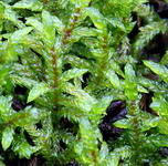 Pseudosclerapodium prurum
