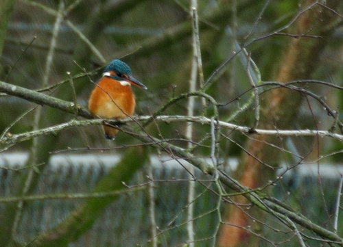 Kingfisher in Wageningen